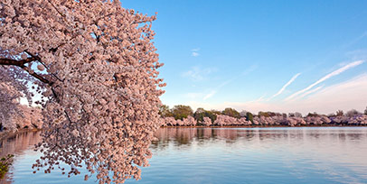 Cherry Blossom tours from Canada