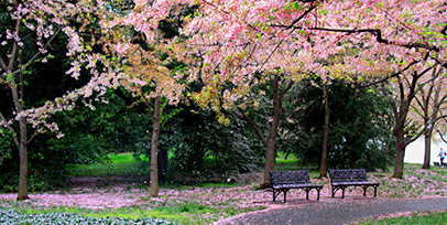 Cherry Blossom Tours from Boston