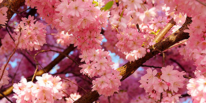 Cherry Blossom Tours from New York