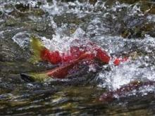 1-Day Harrison Hot Spring, U-Pick Apple, Salmon Run Tour from Vancouver
