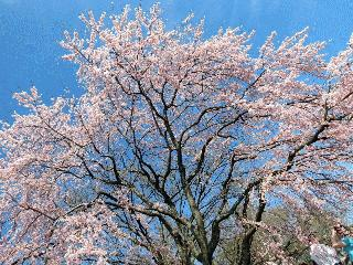 3-Day Cherry Blossom Washington DC Tour from Toronto