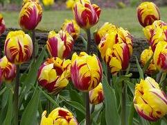 1-Day Tour to Tulip Festival on Mother's Day from Boston