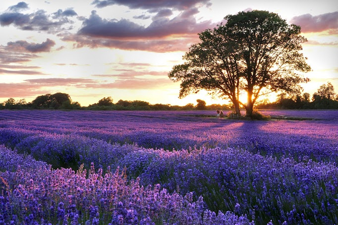 2-Day Montreal Lavender Farm and Fireworks Festival Tour from Toronto