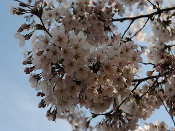 2-Day Washington DC Cherry Blossom Tour from New York
