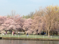 1-Day Washington DC Cherry Blossom from Philadelphia