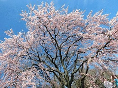 4-Day Washington DC Cherry Blossom, Tennessee, Smoky Mountain Bus Tour from New York/New Jersey