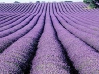 2-Day Montreal and Lavender Farm Purple Romance Tour from Toronto